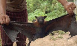 El murciélago hembra cautivo ofrece sexo a cambio de comida a los machos