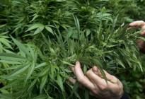 Creen que la marihuana ayudaría a prevenir y tratar el coronavirus