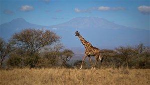 Extinción silenciosa: Quedan menos de 100.000 jirafas en todo el planeta