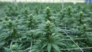 Israel, en la vanguardia del cannabis medicinal, sufre escasez de marihuana