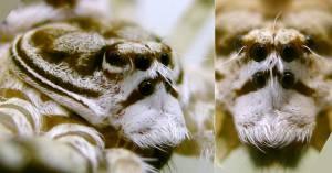 ¡Sape gato! Hallan una nueva araña en Colombia bautizada como los malos de Star Wars