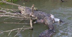 """Con canción de Elton John """"Crocodile Rock"""" realizan funeral a un cocodrilo"""