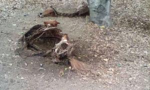 ¡Desgarrador! Descuartizan a dos yeguas de la facultad de veterinaria de la UCV en Maracay (Imágenes Fuertes)