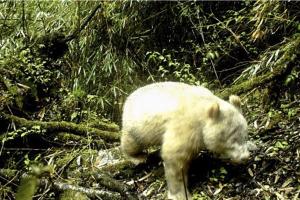 Captan por primera vez un raro panda gigante albino en China (Fotos)