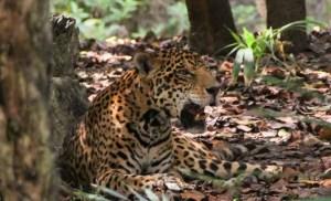 El rescate 'in extremis' de un leopardo que cayó en un pozo de agua en India (VIDEO)