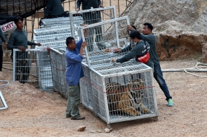 Fallecen 86 de los 147 tigres que fueron rescatados de un templo en Tailandia