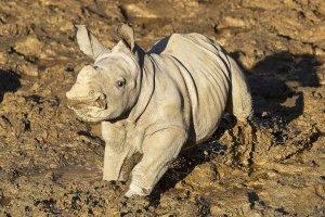 Rinoceronta blanca que nació en un zoológico de San Diego ya tiene nombre