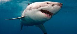 Cuatro tiburones blancos nadan en las costas de la Florida