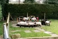 ¡Awww! Adorables corderos juegan en un parque infantil mientras se mantiene el aislamiento en Inglaterra (video)