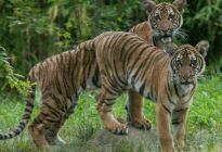 ¡Insólito! Un tigre del zoológico del Bronx dio positivo por coronavirus