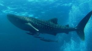Científicos descubrieron cuál es el pez más grande del mundo