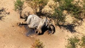 """¿Aclarado el misterio? Descubren al """"culpable"""" de la muerte de cientos de elefantes en Botsuana"""
