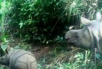 Captan a dos crías de una rara especie de rinoceronte que está al borde de la extinción (VIDEO)