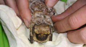 El diminuto mamífero volador de Galápagos que tiene de cabeza a los científicos (Fotos)