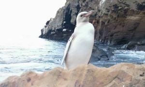 "Un ""raro"" pingüino blanco fue descubierto en islas ecuatorianas de Galápagos"