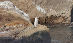 Encuentran un extraño pingüino blanco en las Islas Galápagos (FOTOS)
