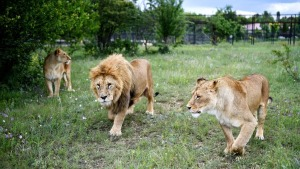 Leones en cautiverio se mutilan unos a otros ante los visitantes de un parque safari