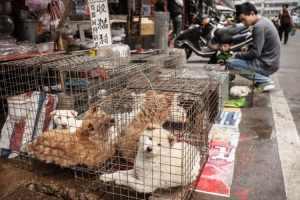 Perritos que iban a ser sacrificados en carnicerías de China ahora serán adoptados en EE.UU.