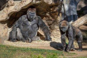 Gorilas dieron positivo por Covid-19 en EEUU: ¿Qué sabe la ciencia sobre los contagios en animales?