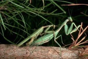 Descubrieron la astuta estrategia que desarrolló un insecto macho para evitar que las hembras lo decapiten después del sexo