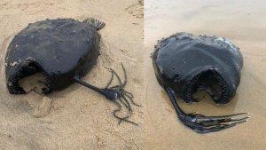 Monstruoso y misterioso pez apareció a la orilla de una playa en EEUU: Suele vivir a mil metros de profundidad (FOTOS)