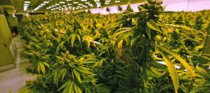 Casos de esquizofrenia relacionados con el uso de cannabis están en aumento
