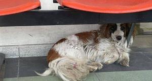 ¡Conmovedor! La historia de un perro que aún espera a su dueño que murió en un hospital