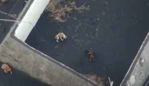 La peor noticia: Desaparecieron los perros atrapados por la lava del volcán de La Palma